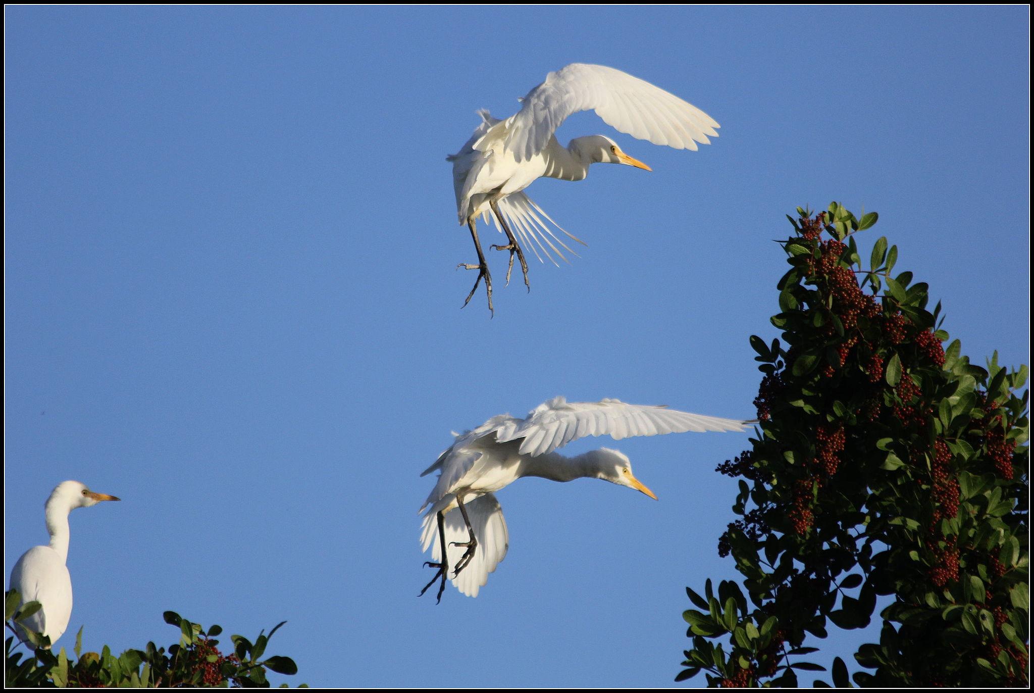 White herons in flight
